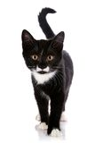 The black and white kitten goes on a white background. Stock Photos