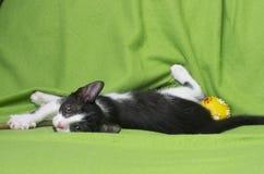 Black and white kitten on green Royalty Free Stock Photo