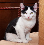 Black and white kitten with green eyes sitting Royalty Free Stock Photos