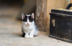 Black and white kitten. An image of a nice black and white kitten Royalty Free Stock Image