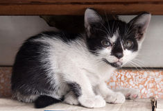 Black and white kitten lay under shelf Royalty Free Stock Photos