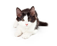 Black and White Kitten Laying Looking Into Camera Stock Photography