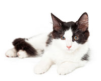 Black and White Kitten Laying Looking Just Off To The Side Stock Image