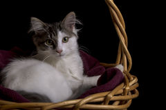 Black & White Kitten. A black and white kitten laying in a weaved basket Royalty Free Stock Photos