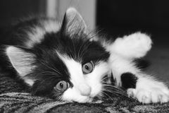 Black and white kitten. Lying on the floor Stock Photography