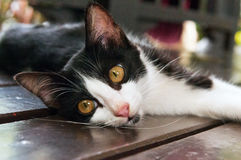 Black-white kitten. A black-white kitten lying on a floor Royalty Free Stock Images