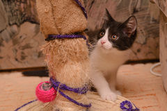 Black and white kitten. Near the point of claw with a toy Stock Photo