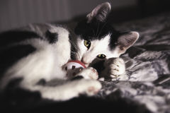 Black and white kitten playing. With a pink-white toy Royalty Free Stock Images