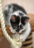 Black and white kitten playing Royalty Free Stock Photos