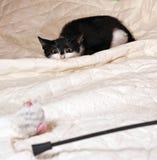 Black and white kitten playing Royalty Free Stock Photo