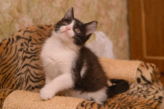 Black and white kitten. On  the point of claw with a toy Royalty Free Stock Photography