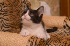 Black and white kitten. On  the point of claw with a toy Stock Photo