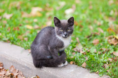 Black and white kitten. Portrait of a black and white kitten Royalty Free Stock Photo