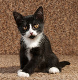 Black and white kitten sitting on couch Stock Photos