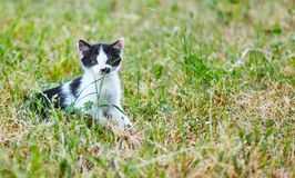 Black-and-white kitten sitting in the grass. The black-and-white kitten sitting in the green grass, looks carefully before him Royalty Free Stock Images