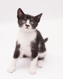Black and white kitten sitting, looking anxiously. At the gray-white background Stock Images