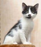 Black and white kitten Stock Photos