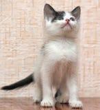 Black and white kitten Stock Image