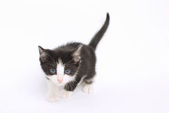 Black and White Kitten Stalking. Crouching black and white kitten stalking the camera Stock Image