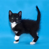 Black and white kitten standing on blue Royalty Free Stock Photography