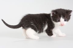 Black and white kitten standing on a floor Stock Photo