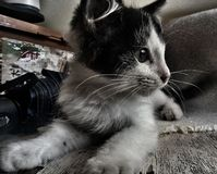 black and white kitten on the table royalty free stock image