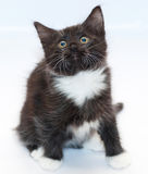 Black and white kitten with yellow eyes sits anxiously looking u Stock Photo