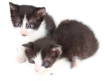 Black and white kittens Royalty Free Stock Photo