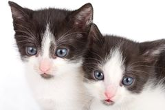 Black and white kittens Royalty Free Stock Images