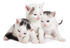 Black and white kittens Stock Image