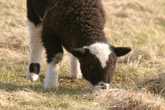Black and white lamb grazing Royalty Free Stock Photos