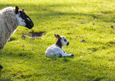 Black and white lamb in meadow Royalty Free Stock Photography