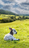 Black and white lamb in meadow Stock Images