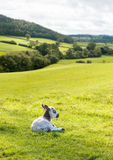 Black and white lamb in meadow Stock Photos