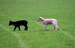Black and White Lambs. Spring lambs found in a field in South Yorkshire Royalty Free Stock Photography