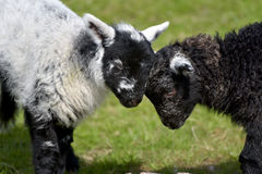 Black and white lambs lamb by Loughrigg Tarn Royalty Free Stock Photography