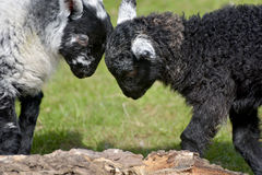 Black and white lambs lamb by Loughrigg Tarn Royalty Free Stock Image