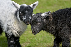 Black and white lambs lamb by Loughrigg Tarn Royalty Free Stock Images