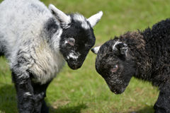 Black and white lambs lamb by Loughrigg Tarn Stock Photography