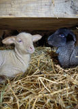 Black and white lambs in a stable Royalty Free Stock Photos