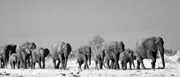 Black & White Landscape of a large herd of elephants walking across the African Savannah in Hwange National Park. Panorama of a family herd of elephants walking stock photos