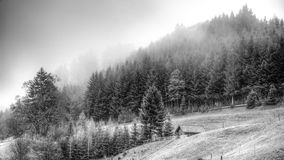 Black and white landscape. Black and white landscape misty pine forest Royalty Free Stock Image