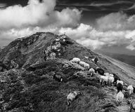 Black and white landscape of rocky mountain with flock of sheep Stock Images
