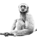 Black and white lar gibbon on a rope Stock Images