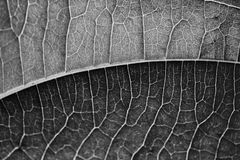 Black and White Leaf Royalty Free Stock Photo