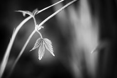 Black and white leaf background Royalty Free Stock Images