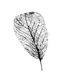 Black and white leaf. Stock Photography