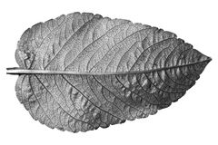 Black and white leaf on white. Royalty Free Stock Photo