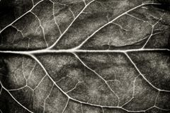 Black and white leaf rugged surface structure extreme macro closeup photo as natural texture background. Black and white leaf rugged surface structure extreme Stock Image