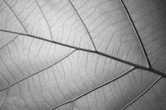 Black and white leaf texture for background Royalty Free Stock Photo